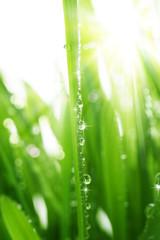 Grass wish Dew Drops
