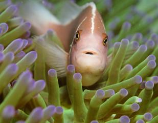 skunk clown fish in a sea anenome