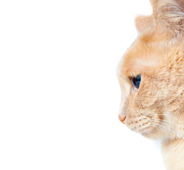 peach colored cat isolated on white