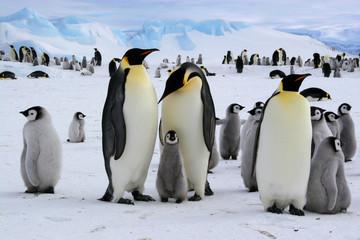 Manchots empereurs de l'Antarctique