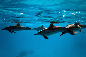 Wall Murals Dolphins Dolphins in the sea