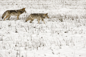 Coyote Pair in Snow