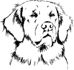 Golden Retriever Stock Photos And Royalty Free Images Vectors And