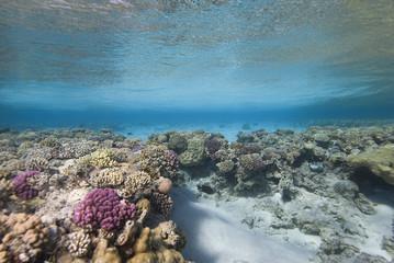Hard Coral Reef plate