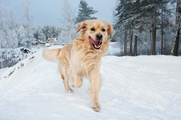 Golden retriever running in the snow .