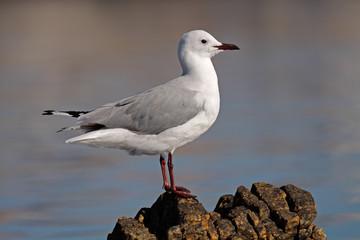 Hartlaub's gull (Larus hartlaubii), South Africa