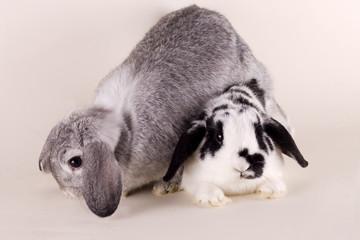Kaninchen, Hase, Rabbit, Schlappohr