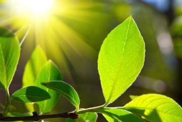 leaf and sun