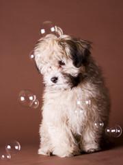 Havaneser, kleiner Hund, Haustier, Rassehund