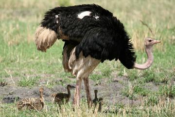 Male Ostrich in Tarangire National Park. Africa