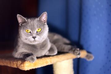British short-haired cat.
