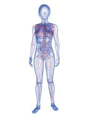 Transparente Frau mit vaskulärem System