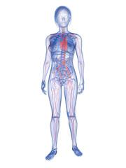 transparenter weiblicher Körper mit vaskulärem System