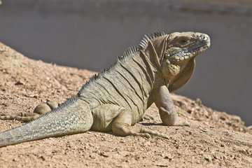 Caribbean Rock Iguana in dirt