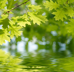 Fototapete - Green leaves reflecting in the water.