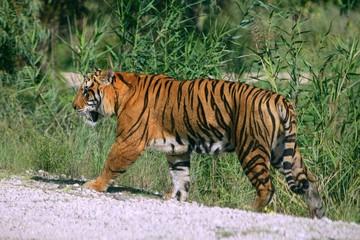 Bengala tiger outdoor portrait walking