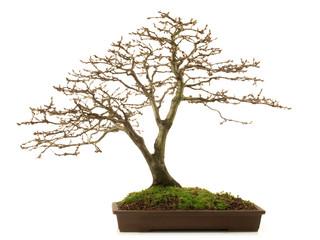 Bonsai ohne Blätter