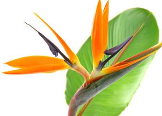 Photos illustrations et vid os de oiseau paradis - Oiseau de paradis plante ...