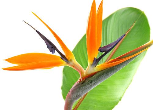 tige feuille strelitzia, oiseau paradis fond blanc