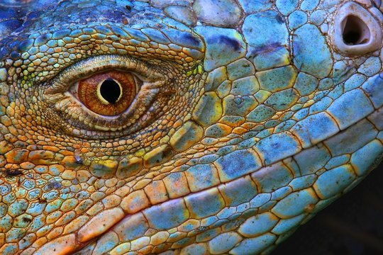 Amazing Iguana specimen displaying a blue colorization