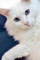 Weiße Katze