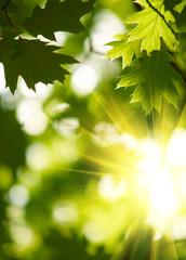 Fototapete - Green maple leaves.
