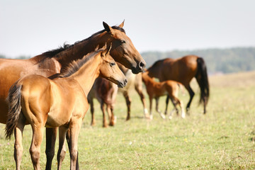 Fototapete - mare and foal
