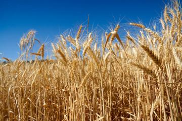 Campo de trigo a la luz del día bajo un cielo azul