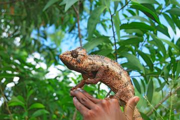Wild chameleon on hand