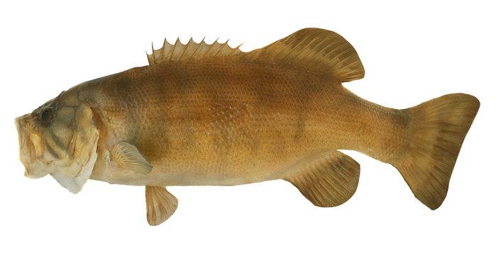 Smallmouth Bass Profile