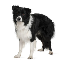Border collie, standing in front of white background
