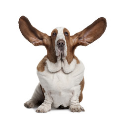 Basset Hound with ears up, sitting in front of white background