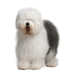 Fototapete - Old English Sheepdog, standing in front of white background