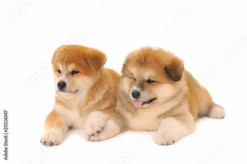 Two Akita Inu Puppy Dogs On White Background Stock Photo