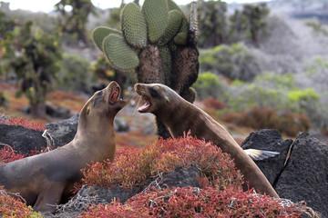 Sea lions fighting in the Galapagos Islands, Ecuador