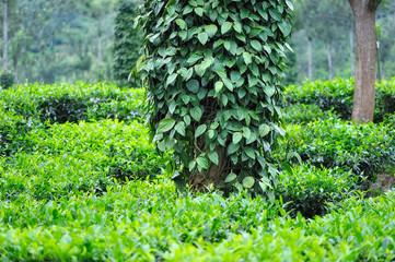 Bushes of Black Pepper
