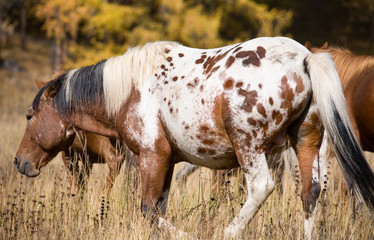 Spotted horse and herd