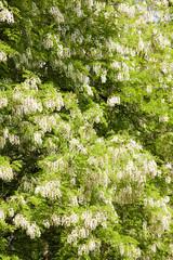 false acacia tree (robinia pseudacacia)