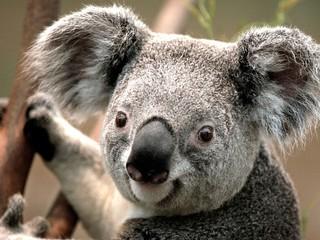 Fototapeten Koala koala
