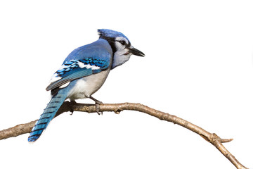 bluejay pictured from behind sitting on branch