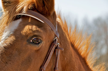 Fearful eye of a horse with the humans reflected in the eye.