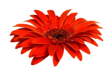Foto op Canvas Gerbera Beautiful red gerber
