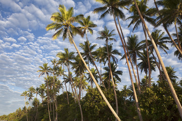 Palm Trees, Fiji
