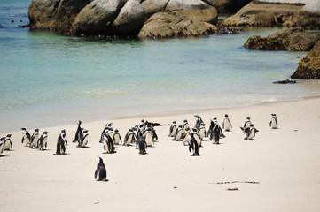 Manchots du Cap de Bonne Espérance