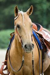 Western-Pferd