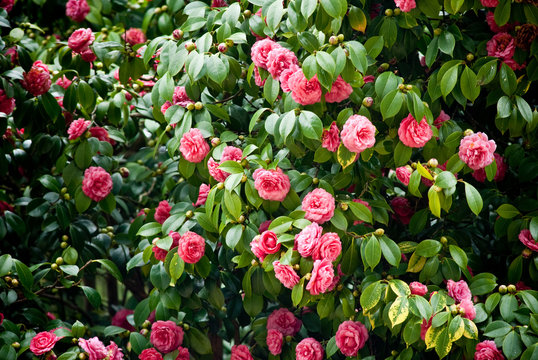 tree full of camellias