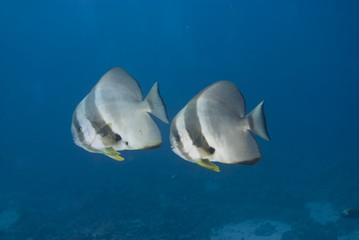 Two adult Circular batfish (Platax orbicularis)