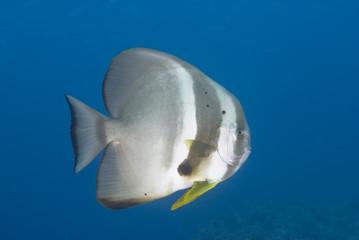 An adult Circular batfish (Platax orbicularis)