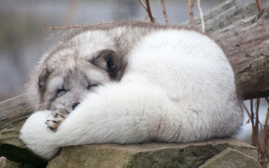 asleep arctic fox on rock