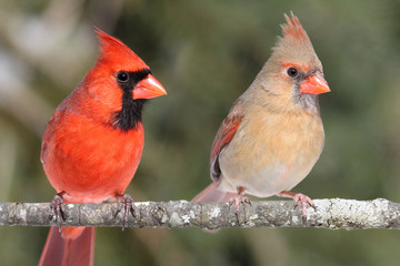 Fotoväggar - Pair of Northern Cardinals